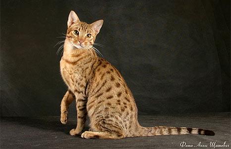 Породистый кот название пород